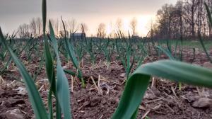 garlic 2015