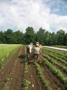JF cultivating beets
